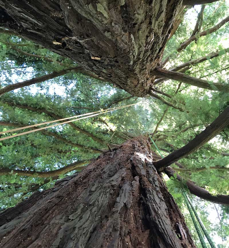 Eugene-Arborist-Tree-Pruning