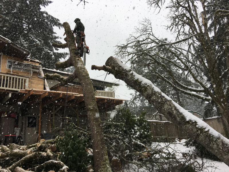 Eugene-Arborist-Tree-Services
