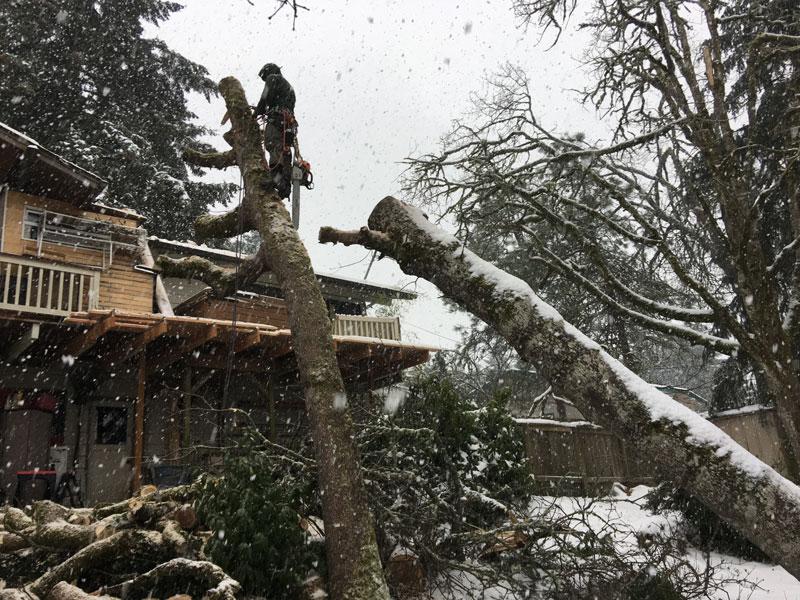 Eugene-Arborist-Tree-Services